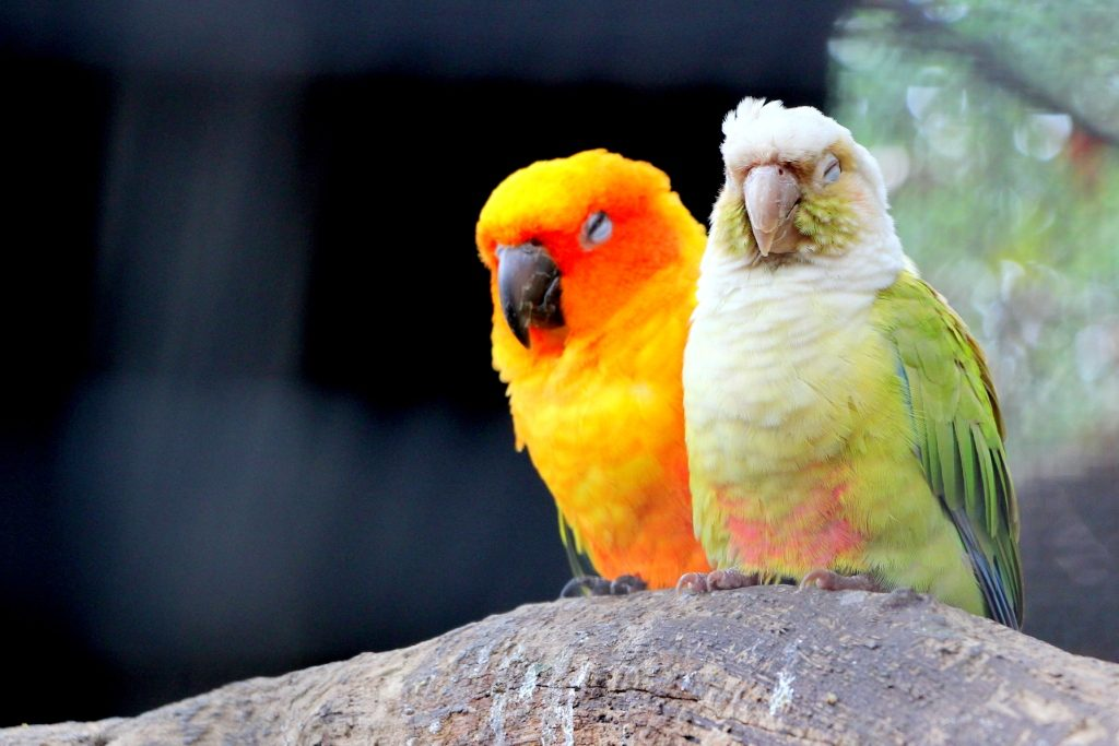 Sun Conures in all their extravaganza!