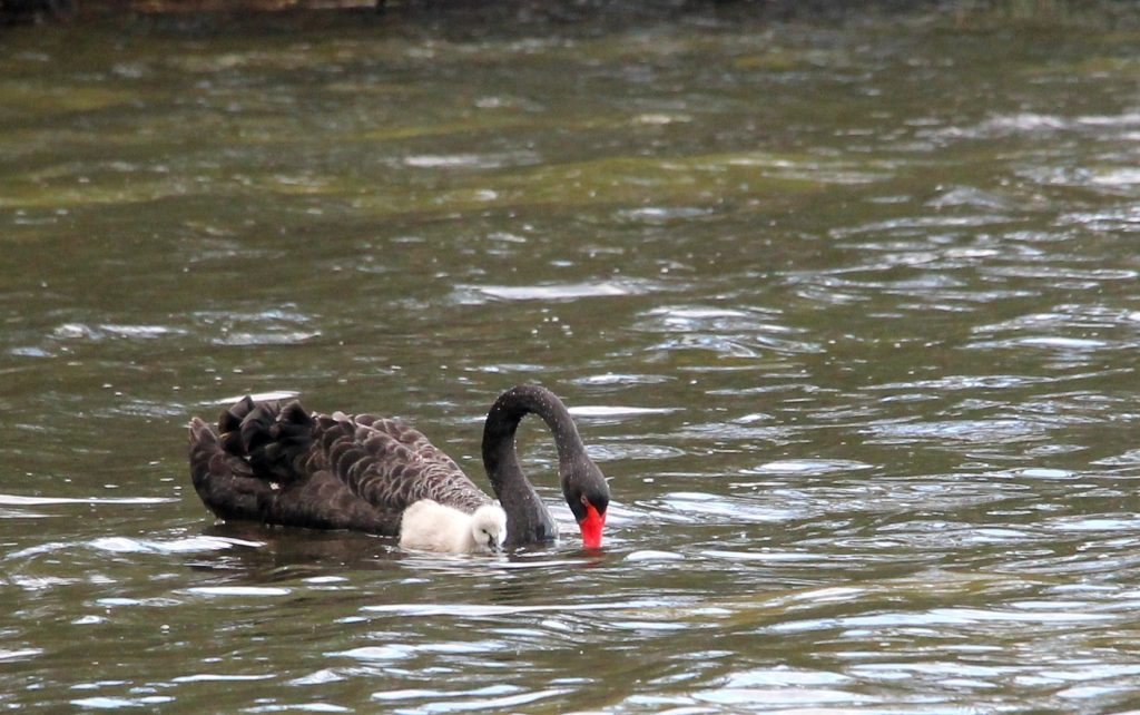One of many black swans on the Myall Lakes