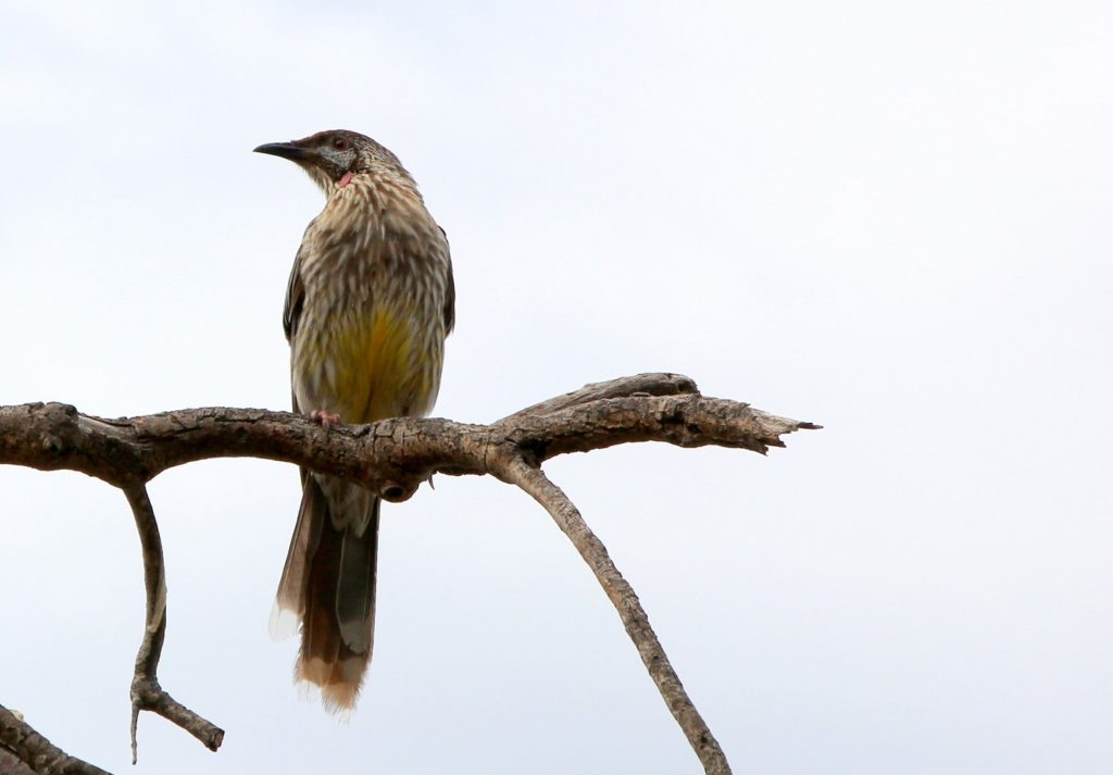 No I couldn't spot any rare migratory bird, and had to suffice with this wattle bird :)