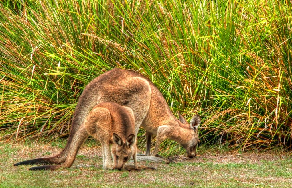 Gamboling wallabies in the campgrounds