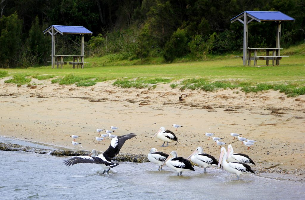 A pod of pelicans roosting by the Crookhaven river