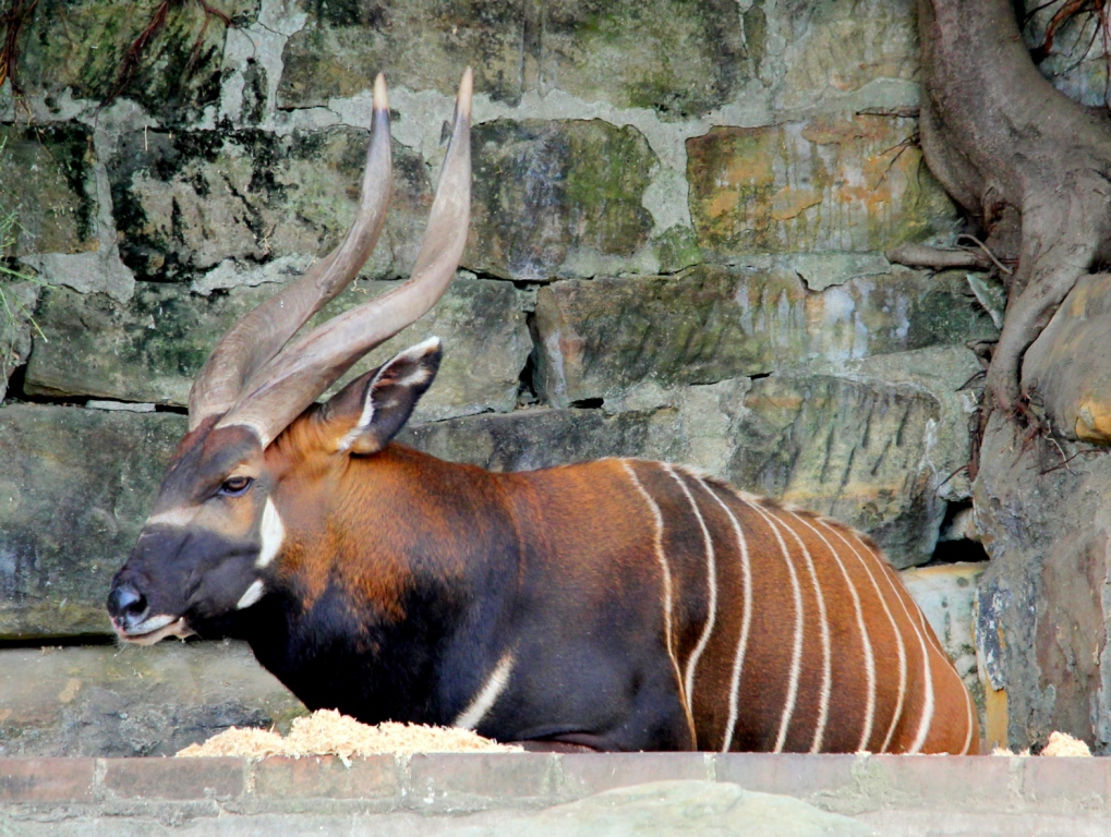 The Bongo - a beautiful antelope like creature - severely endangered, and moving towards extinction with less than 100 animals today left in the wilderness of Kenya