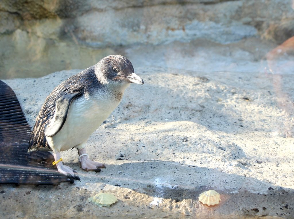 The world's smallest penguin - the little penguin is found mostly in and around Australia & New Zealand