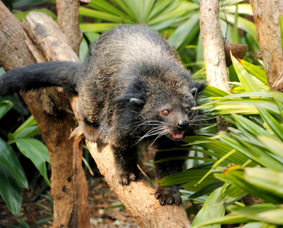 The Binturong - also known as the Bear Cat is a beautiful black civet from south east Asia