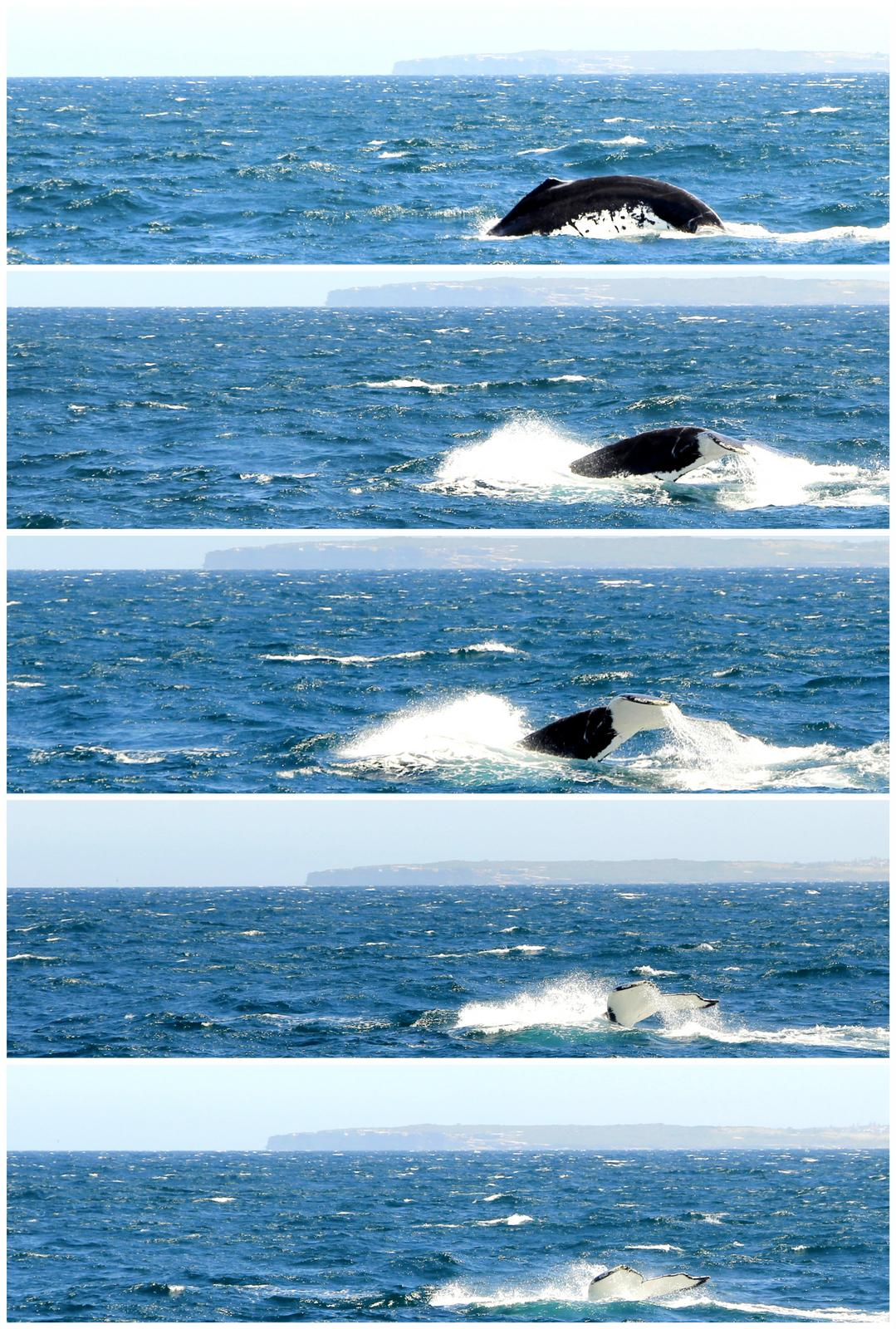 Thar she blows! A humpback plunging into the blues
