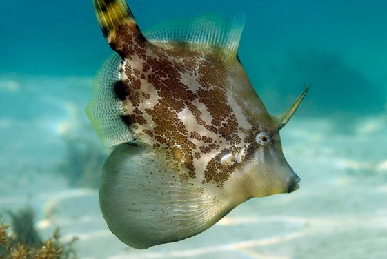 The Fan-Bellied Leatherjacket is a tropical species commonly found in Sydney and is one of the largest leatherjackets around. (Photo courtesy: www.underwatersydney.org)