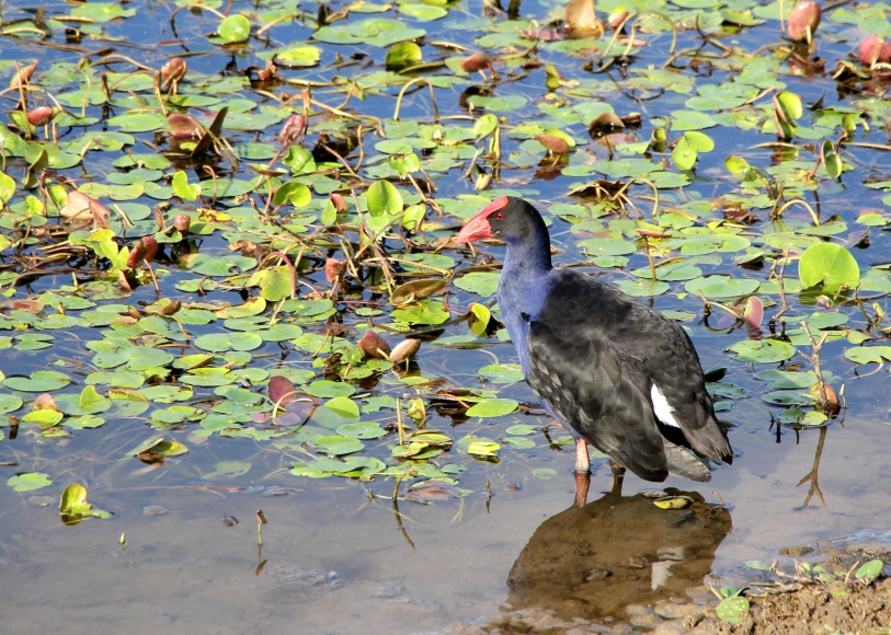 A purple swamp hen, resplendent in the setting colors of the sun
