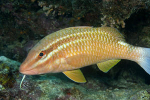 The bearded goatfish - its distinctive goatie is sure to keep you amused (Photo courtesy - www.underwatersydney.org)