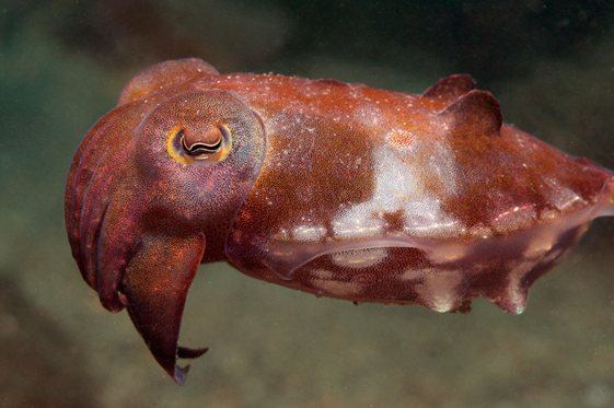 The reaper cuttlefish - one of three varieties found in Sydney (Photo courtesy - www.underwatersydney.org)
