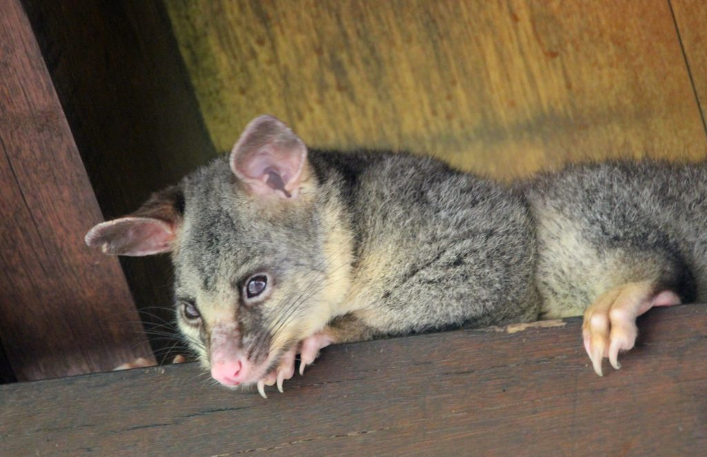 A peeking possum at a gazebo in the gardens